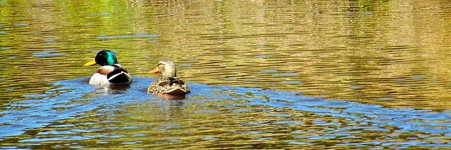 Mallards and many other species of waterfowl frequent the Corning, CA property.